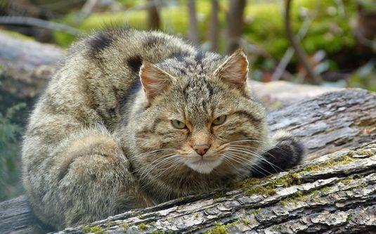 Wildkatzenwelt im Naturparkzentrum Stromberg-Heuchelberg
