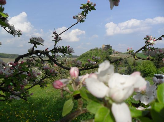 Apfelblüte im Frühling bei Burg Neipperg